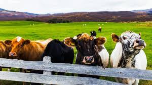 Bien-être animal : du reniement des promesses de campagne au mépris des animaux d'élevage